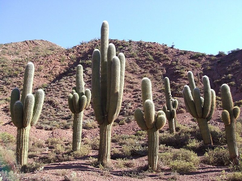 Echinopsis pasacana 2007 argentina salta cactus in for Cactus argentina
