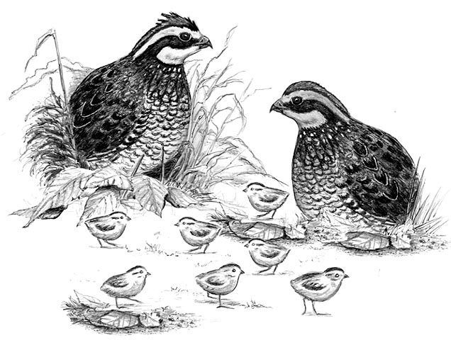 two quail may mean two families