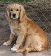 Golden Cocker Retriever I Want One So Bad They Vary In Size
