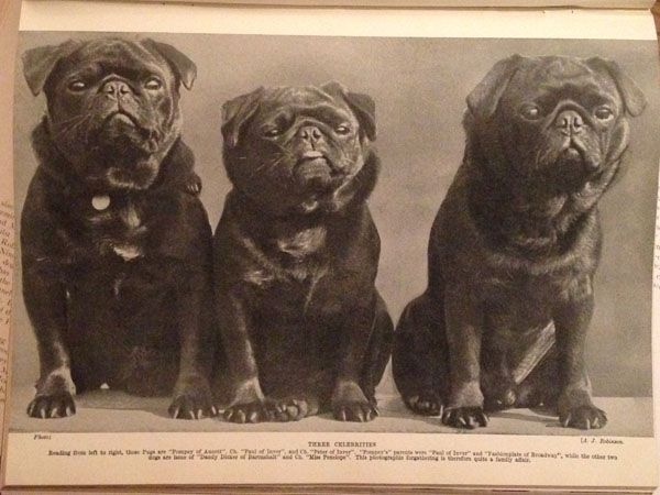 Pugs Are Here To Stay By Lee Connor Pug Dog Black Pug Puppies