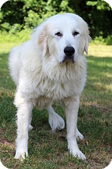 Pin By Trudy Hackney On Pyrs To You Great Pyrenees Great