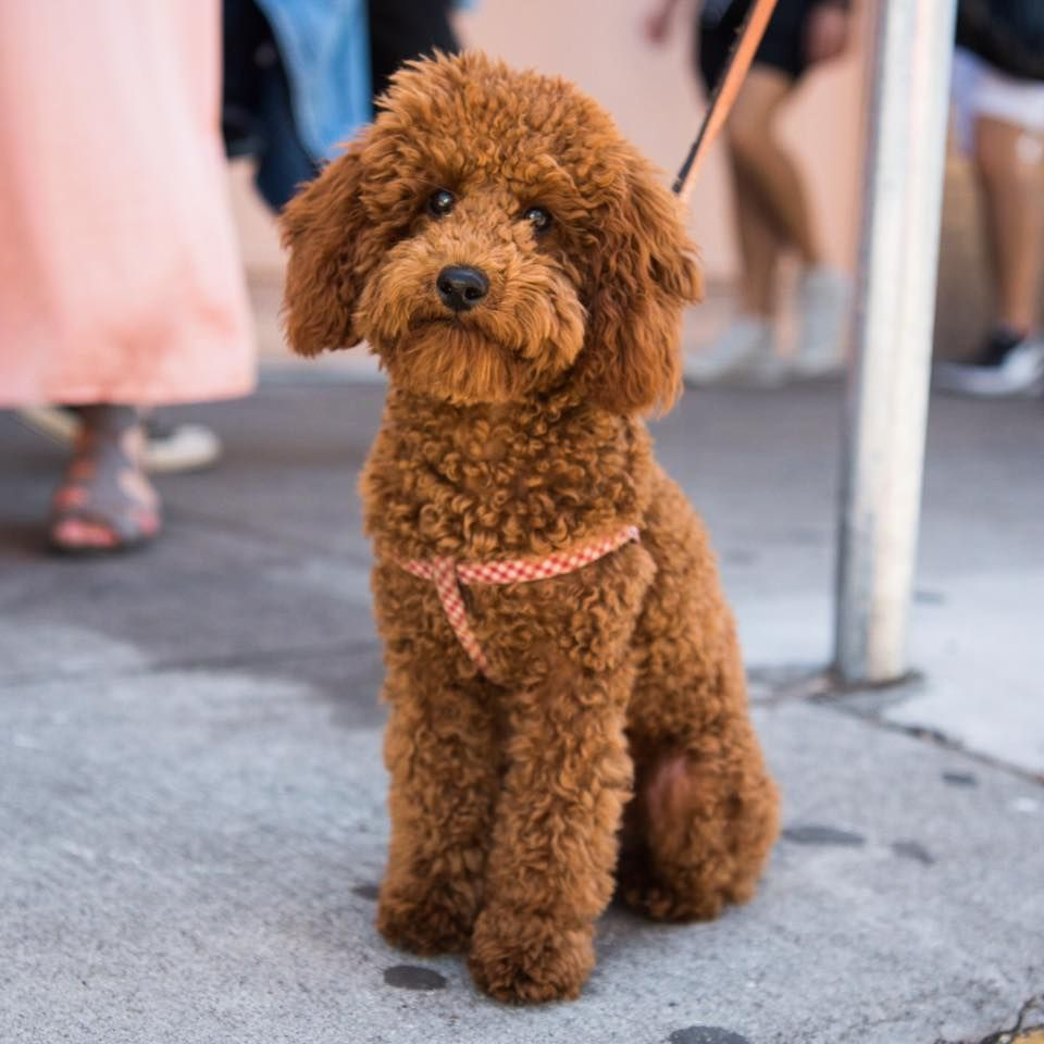 The Dogist Buddha Miniature Poodle 6 M O 18th Oakwood St