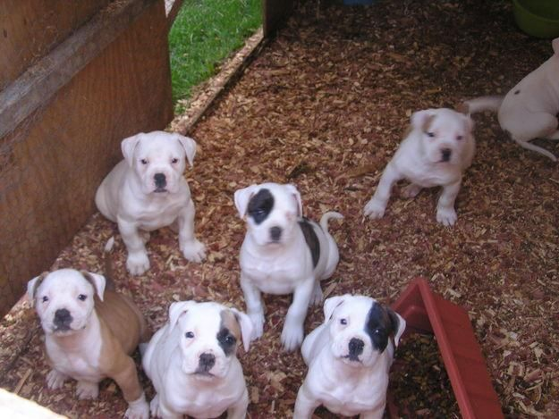 American Bulldog Puppies I Want Them All The Middle One In The
