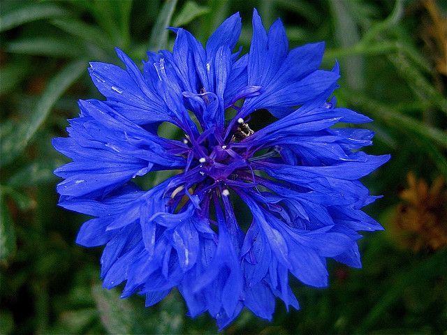 Blue Corn Flower Rare Flowers Beautiful Flowers Blue Flowers