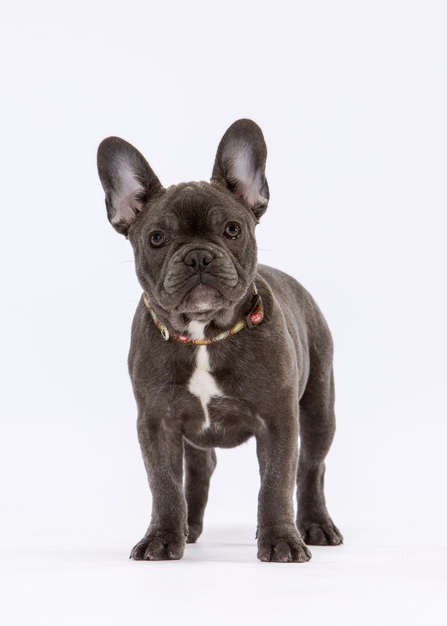 Daily Dose May 19 2019 Frenchie Friend French Bulldog Puppy