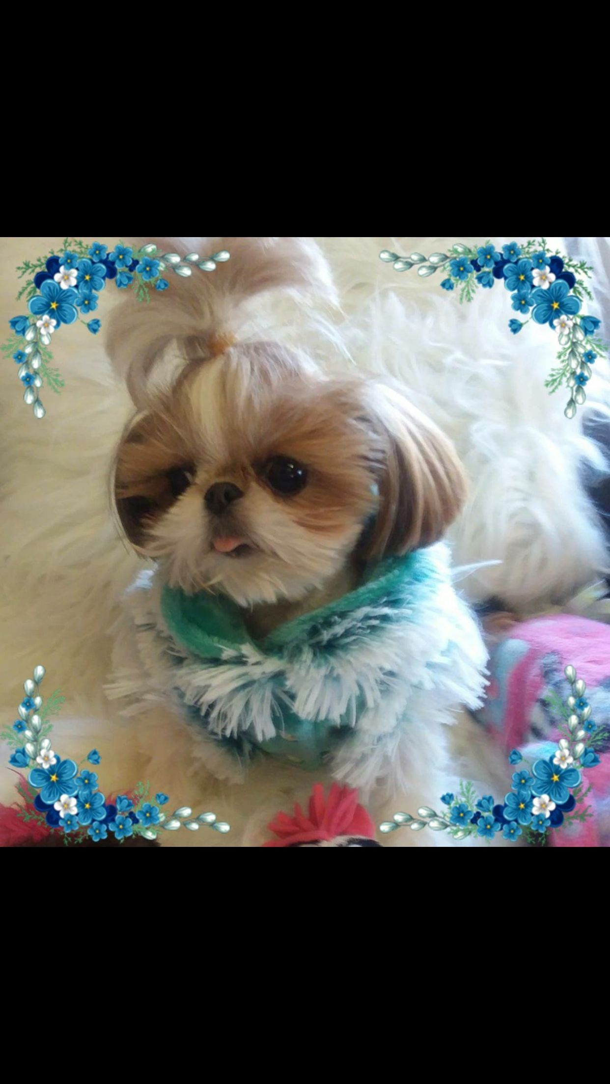 Princess Sami Shihtzu Cutest Small Dog Breeds Shih Tzu Shih