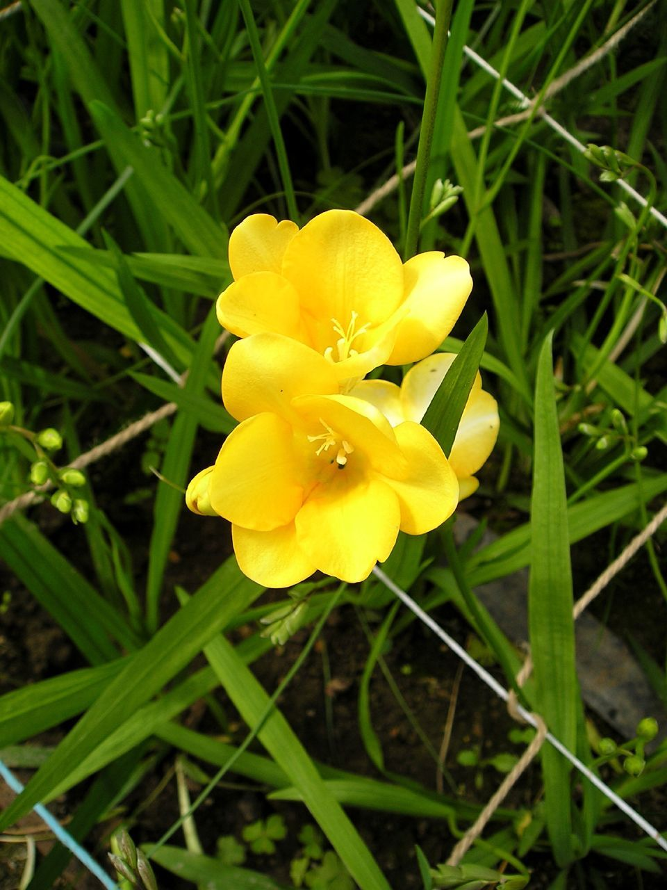 how to grow freesias growing freesia plants and freesia flower care
