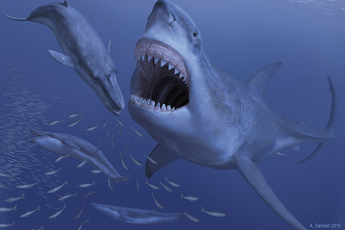 Design muse shark week - Megalodon The Largest Shark Ever To Live Was Doomed By Its Taste For Dwarf Whales By