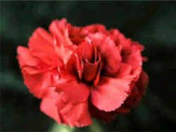 Ohio State Flower Scarlet Carnation Ohio Flowers Flowers Ohio State