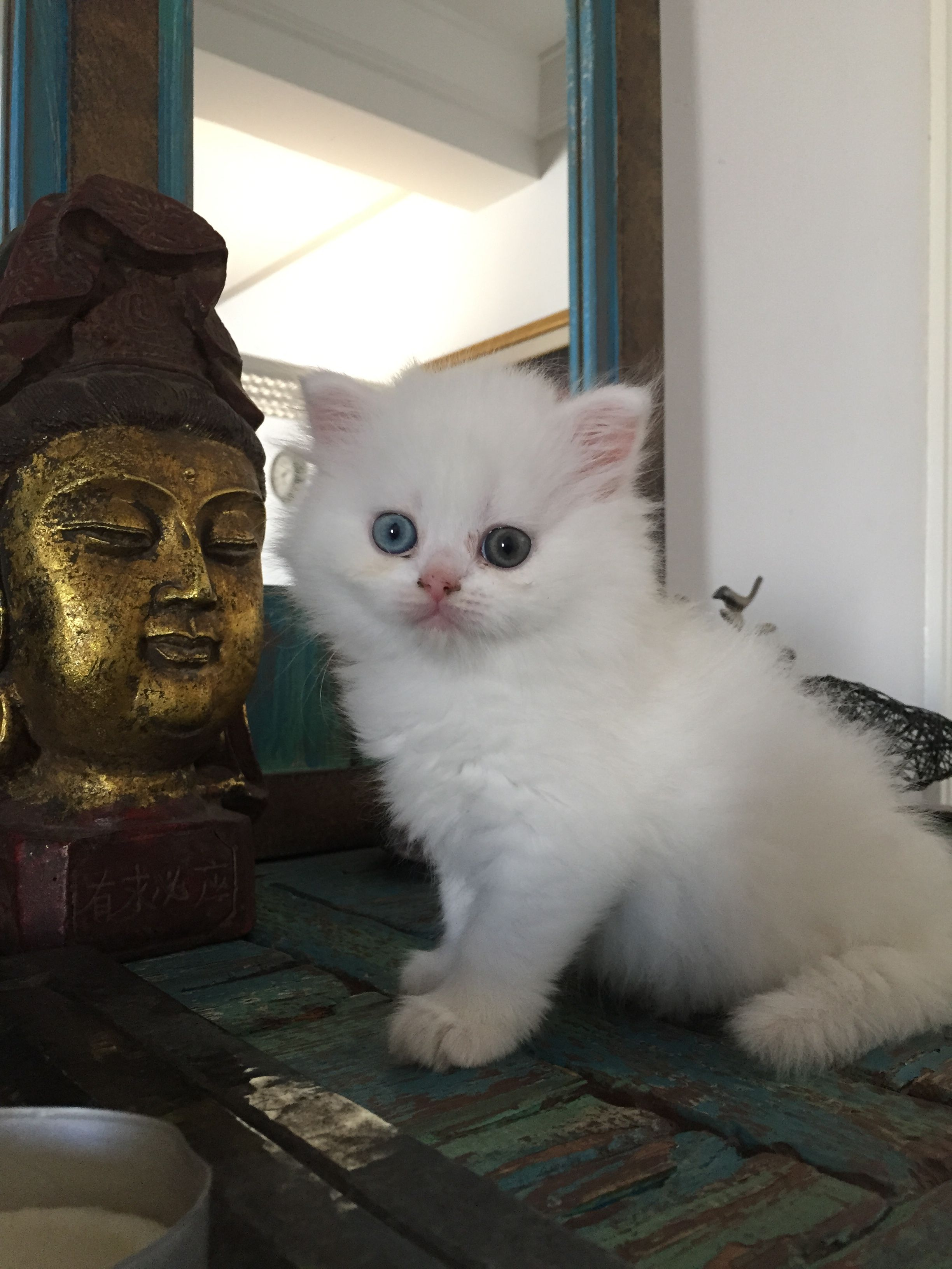 2 our new babies have heterochromia Cute White Persian