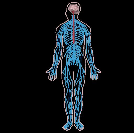 Peripheral Nervous System Peripheral Nervous System Spinal Cord Nervous System
