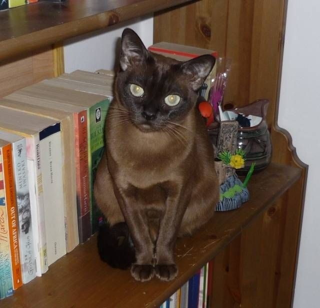 Just discovered the Sable Burmese.  Add another one to the list!
