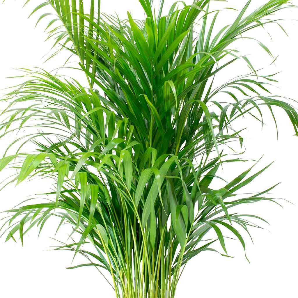 Chrysalidocarpus lutescens Areca Palm Areca palm