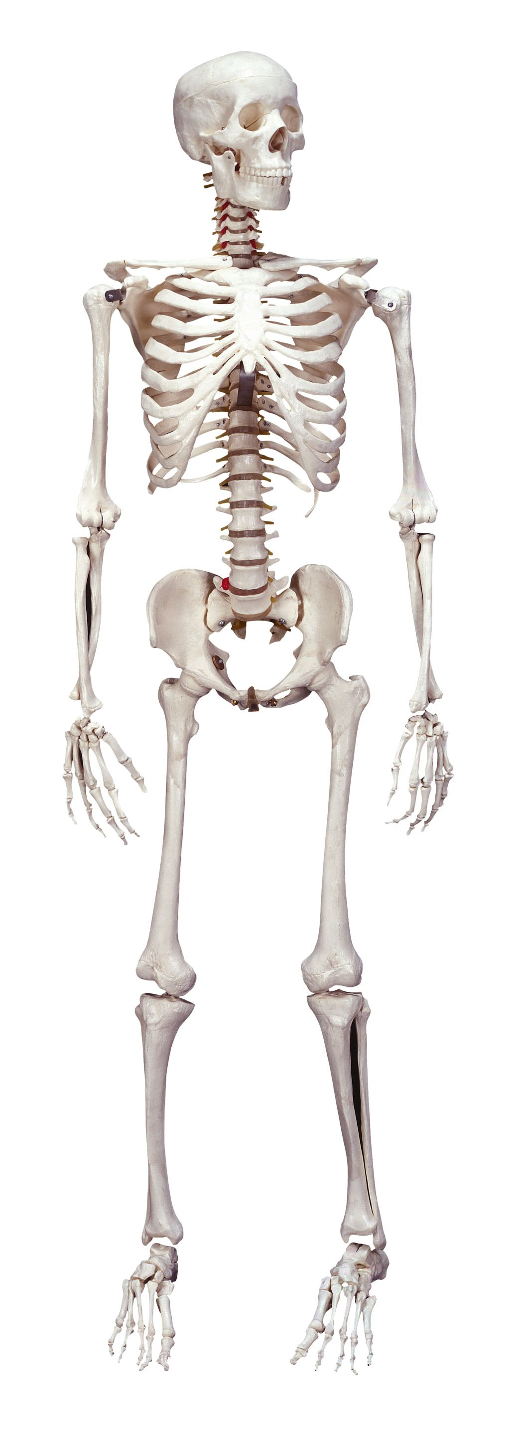 Health Tidbit Humans Have 300 Bones As A Newborn And 206 Bones As A