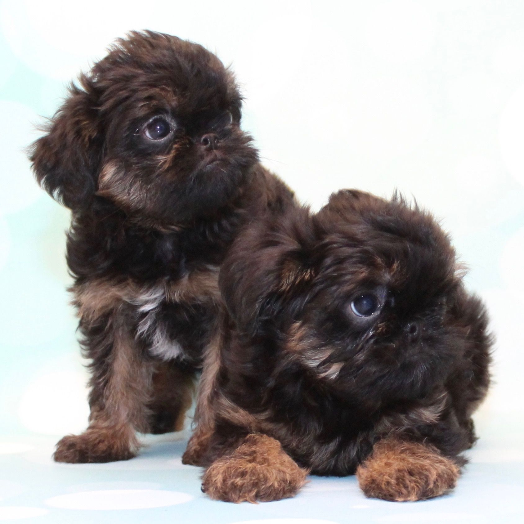 Brussels Griffon Brussels griffon, Cute puppies, Puppies