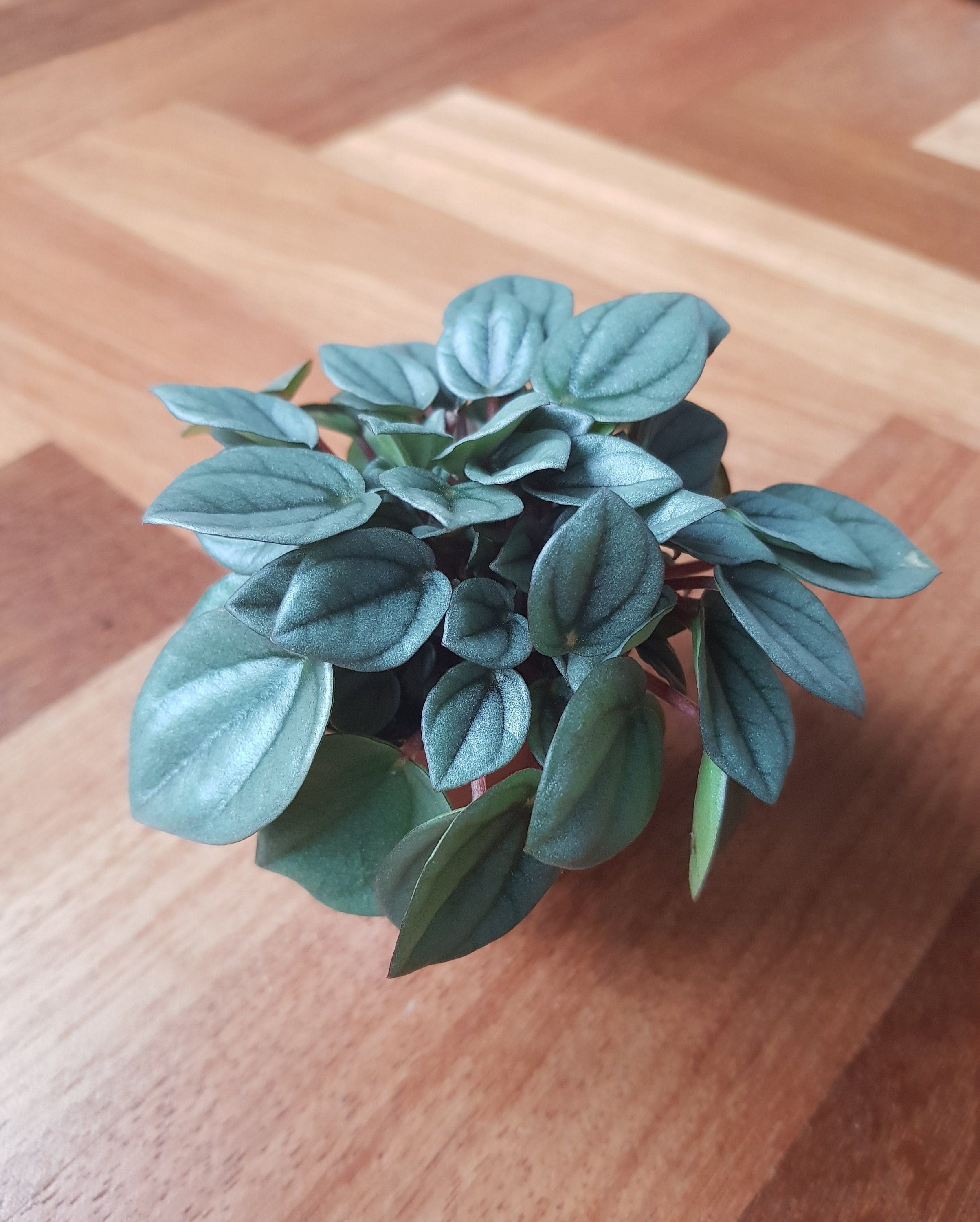 Peperomia Napoli Nights Live Plant Www Etsy Com Live Low Waste Living Quotes Napoli Nights Peperomia Plant In 2020 Live Plants Plants Peperomia