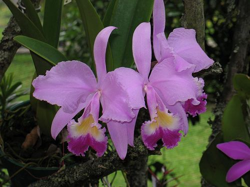 Cattleya Trianae Cattleya Flower Images Growing Orchids