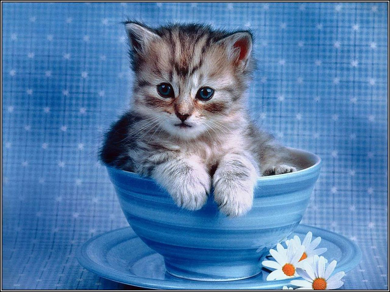 Cute Laptop Screensavers Free Impossibly Cute Kitten Cats Wallpaper Computer Desktop Kitten Wallpaper Kittens Cutest Cute Animals
