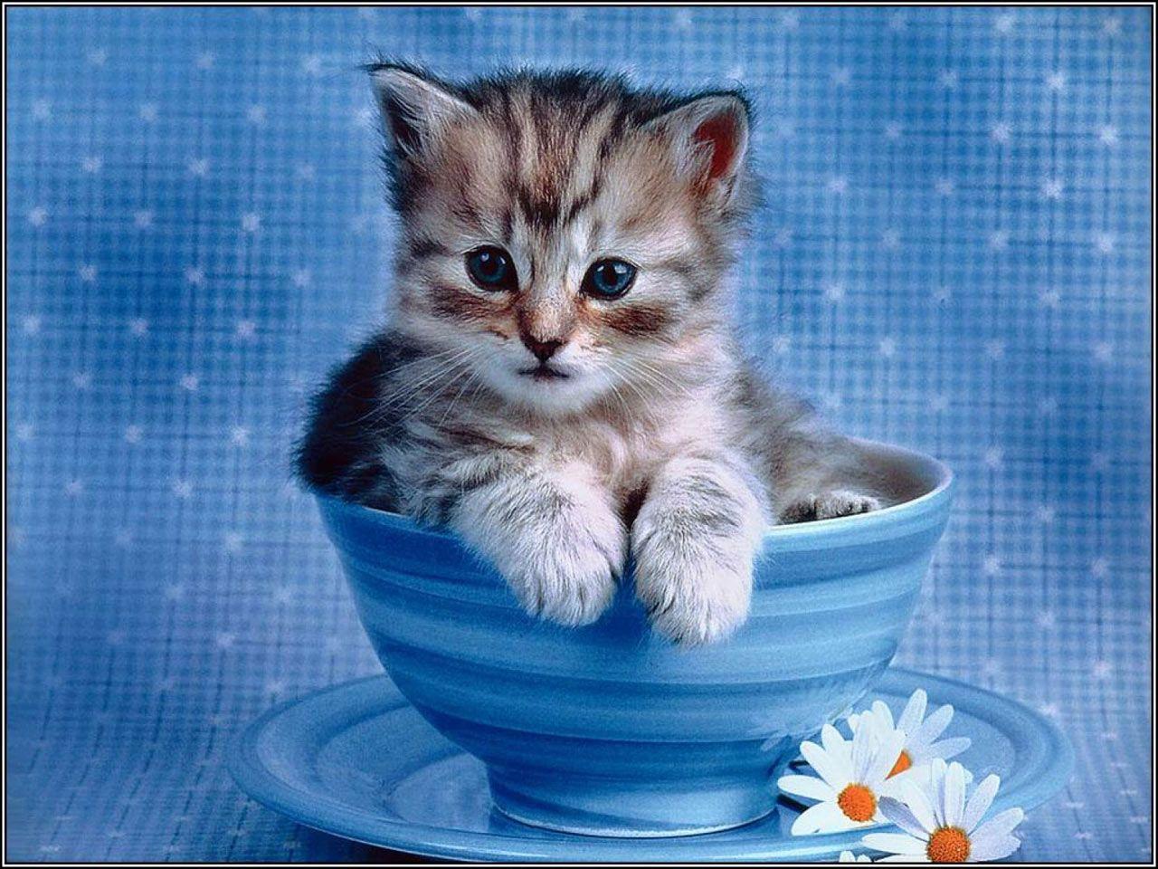 Cute Laptop Screensavers Free Impossibly cute kitten