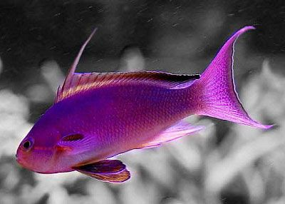 Pink Saltwater Fish Think The Pink Purple Ones Are Much Nice I Got One Of Those I Aquarium Fish Beautiful Fish Tropical Fish