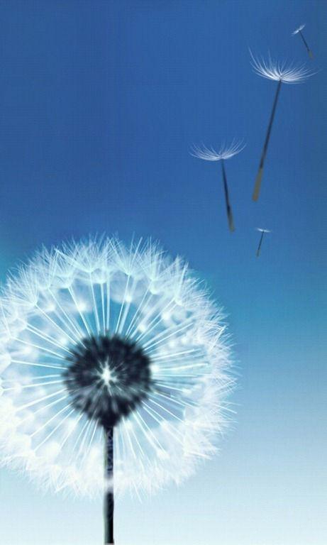 Dandelion Flowers HD Wallpapers HD Wallpapers Inn  S