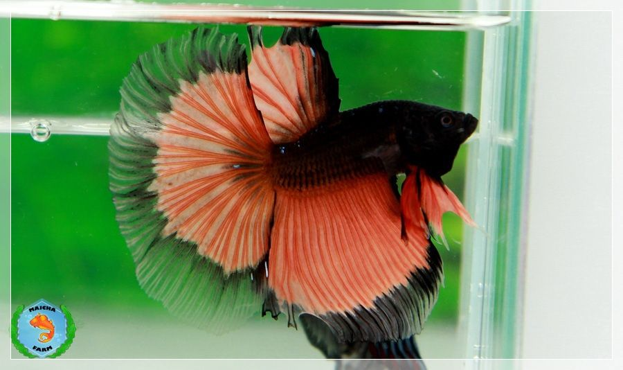 """""""Orange Nightmare"""" Halfmoon Betta fish--hate the name for such a lovely fish!"""