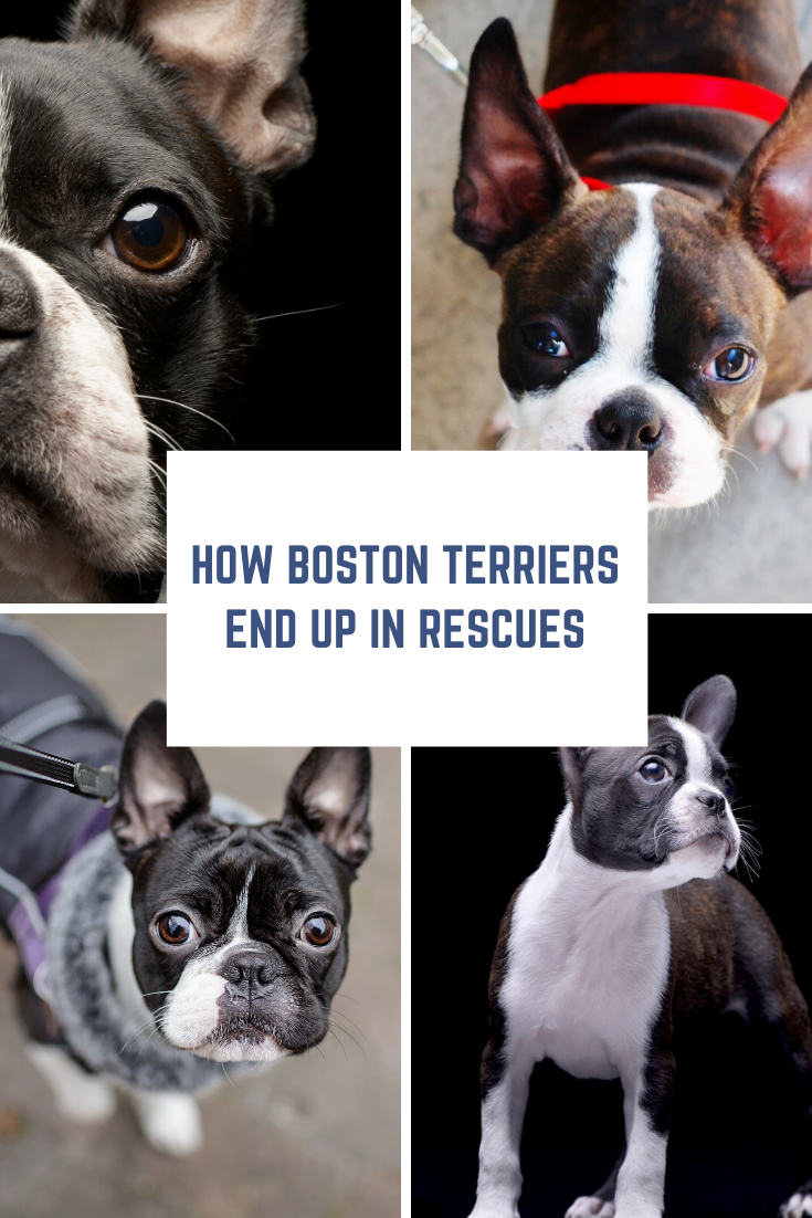 How Do Boston Terriers End Up In Rescues Boston Terrier Terrier Boston Terrier Rescue