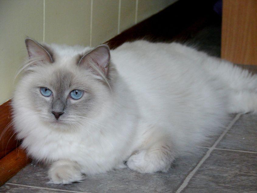 Meet My Ragdoll Kitten Caspian Ragdoll Kitten Cats Kittens