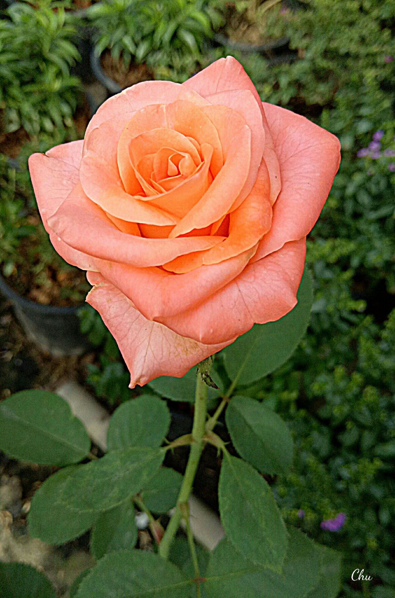 Beautiful rose roses pinterest rose flowers and gardens flower gardening planting flowers beautiful rose izmirmasajfo
