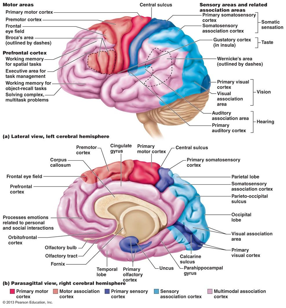 The Central Nervous System … | Pinteres…