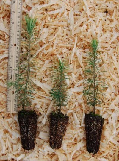 Douglas Fir Tree Seedlings by hollyhillfarms on Etsy, $1.94 - Douglas Fir Tree Seedlings By Hollyhillfarms On Etsy, $1.94
