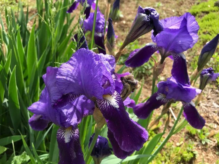 The truth about German bearded irises  The truth about German bearded irises