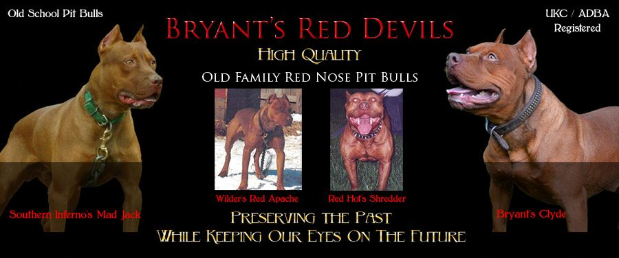 Bryant S Red Devils Old Family Red Nose Pit Bulls Red Nose