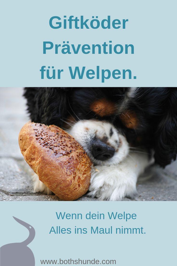 Anti Giftkoder Training Fur Welpen Was Tun Wenn Der Welpe Alles Ins Maul Nimmt Welpen Hundeerziehung Hundchen Training
