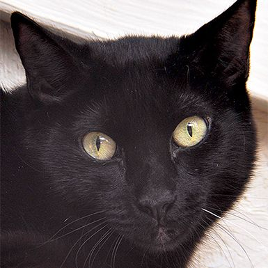 Male Domestic Short Hair named Rodney available for