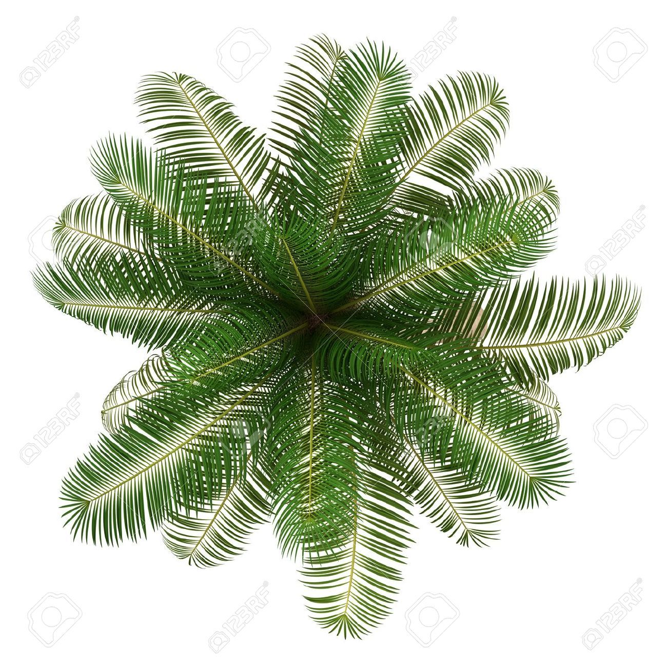14701249 Top View Of Coconut Palm Tree Isolated On White Background Jpg 1300 1300 Tree Photoshop Trees Top View Tree Plan Png