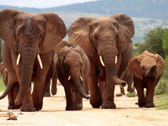 Elefanten Afrikanisch Mit Bildern Tiere Wild Afrikanischer Elefant Elefanten