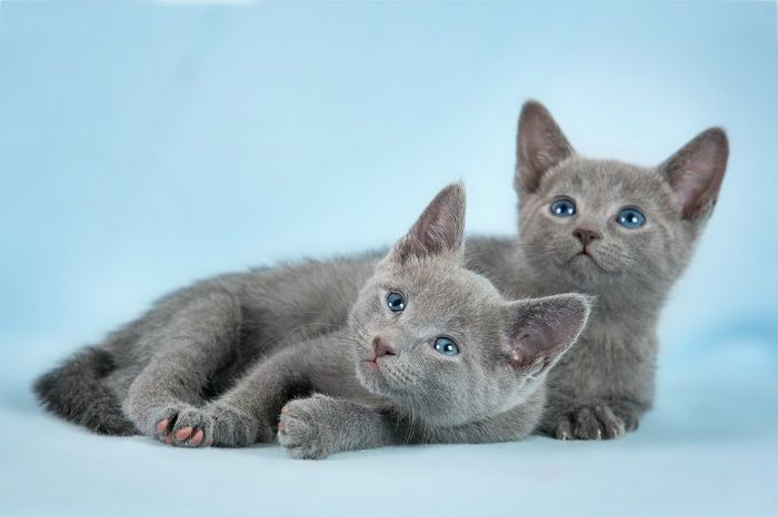 Russian Blue Cat Breeders And Information Russian Blue Russian Blue Cat Cat Breeder
