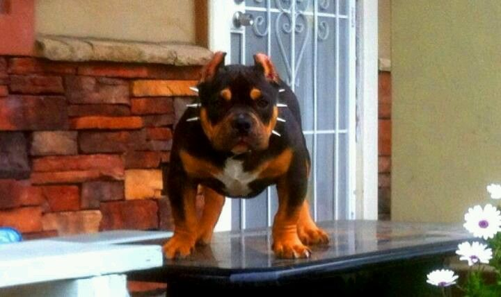 Pitbull Tri Colored Pocket Bully Cute Little Dogs Dog Love Beautiful Dogs