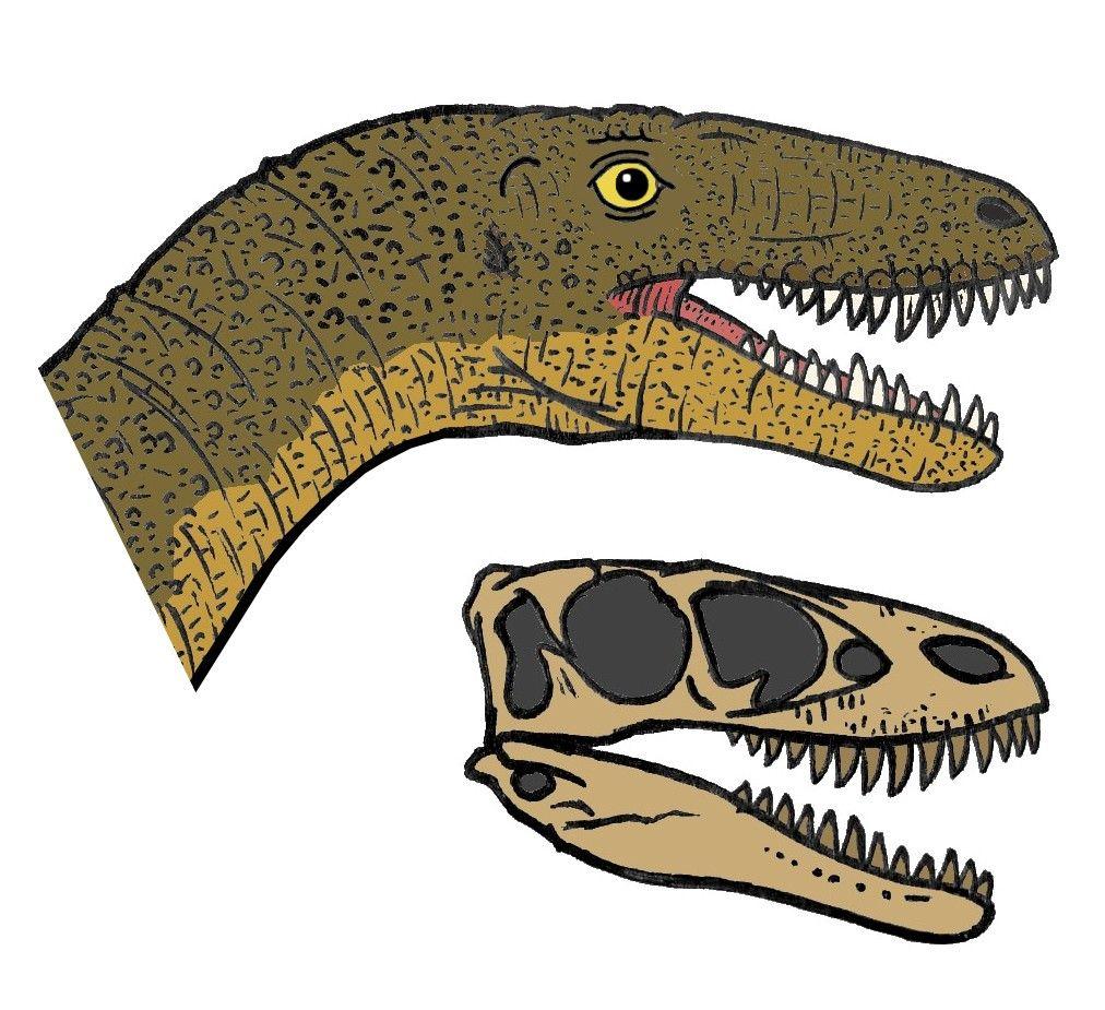 Raptorex_head_01.JPG (1012×925) - R. kriegsteini. Dinosauria, Saurischia, Theropoda, Tetanurae, Coelurosauria, Tyrannosauroidea, Tyrannosauridae, Tyrannosaurinae. Auteur : Conty.