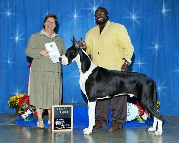 Michaeldane Jaybee Danes Harlequin Mantles And Black Great Danes Great Dane Great Dane Puppy Blue Merle Great Dane