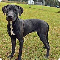 Pictures of 10309009 TILLY a Labrador Retriever for