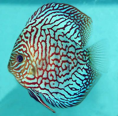 Welcome to JAVED FISHERIES - We are breeder, wholesale, dealer, collector…