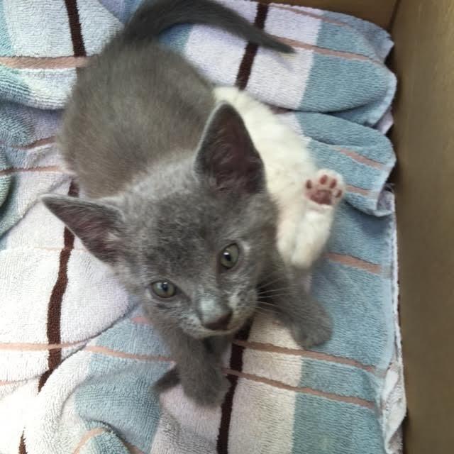 Adopt Benito On Petfinder Russian Blue Russian Blue Cat Cat Adoption
