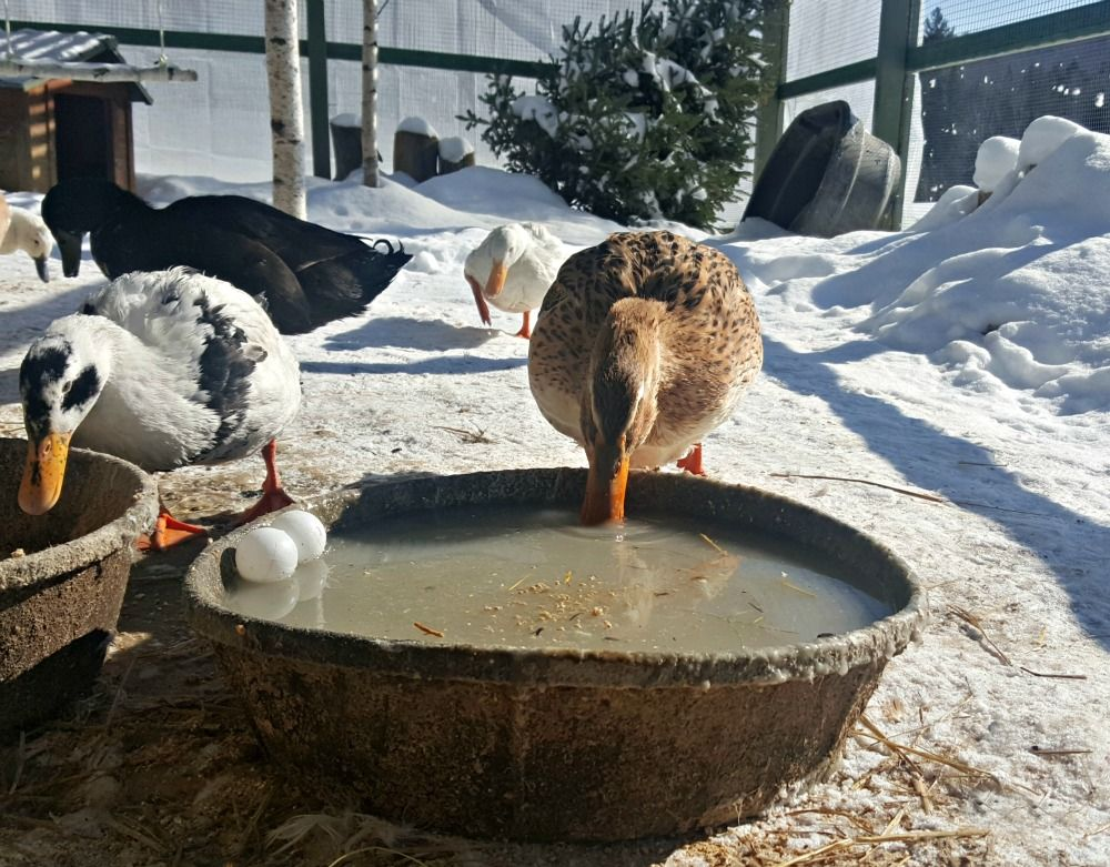 Keep Your Chickens' Water from Freezing No Electricity