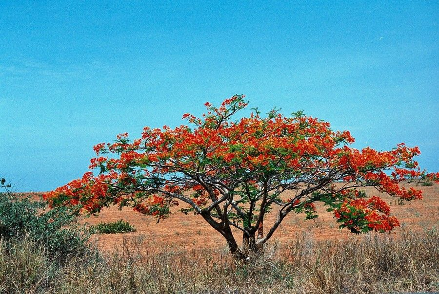 Acacia With Red Flowers Somewhere Between Lobito And Luanda Angola