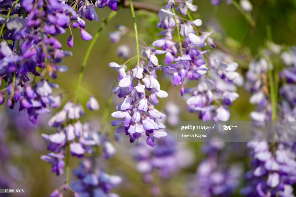 Wisteria Vine In 2020 Vines Wisteria Photography
