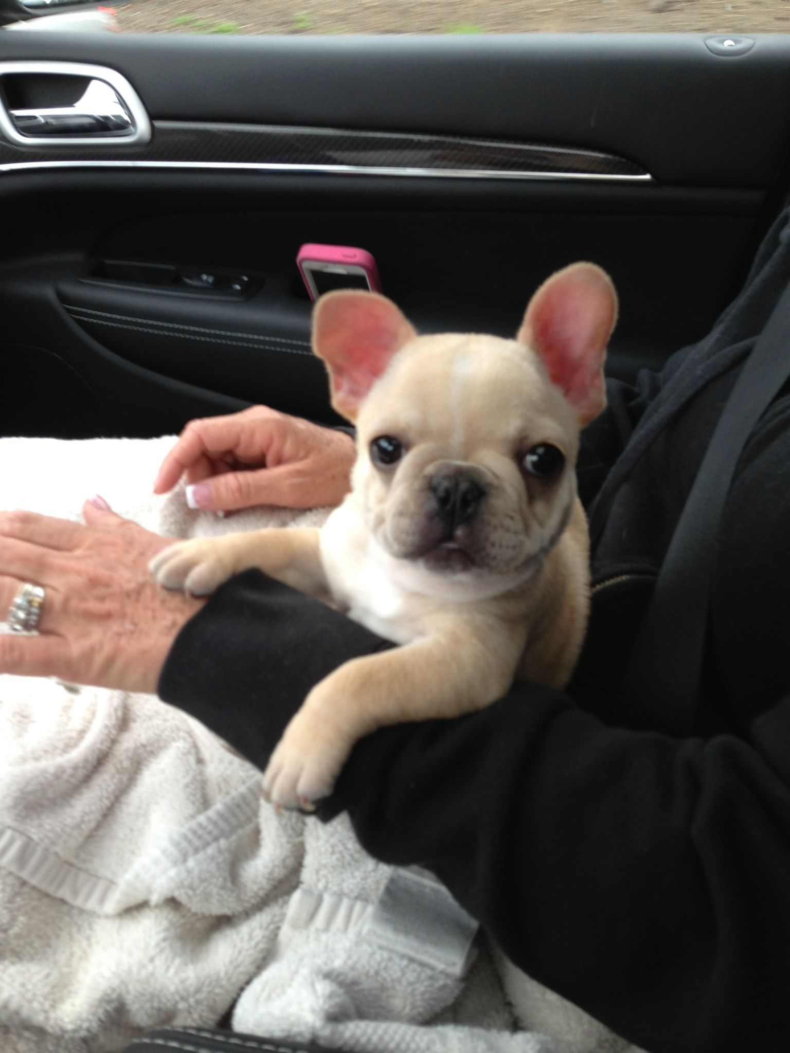 Donald The French Bulldog Puppy From Bluegrass Breeders Ky