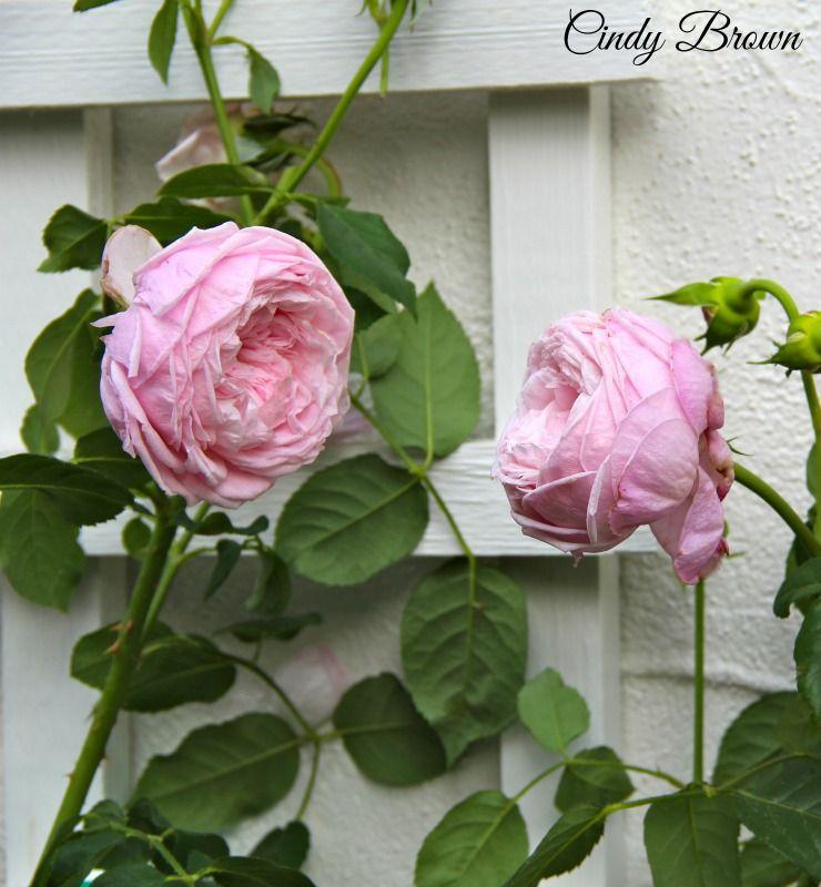 David Austin Spirit Of Freedom Rose Spring 2015 Cindy Brown David Austin Roses Rose Wall Flower Garden