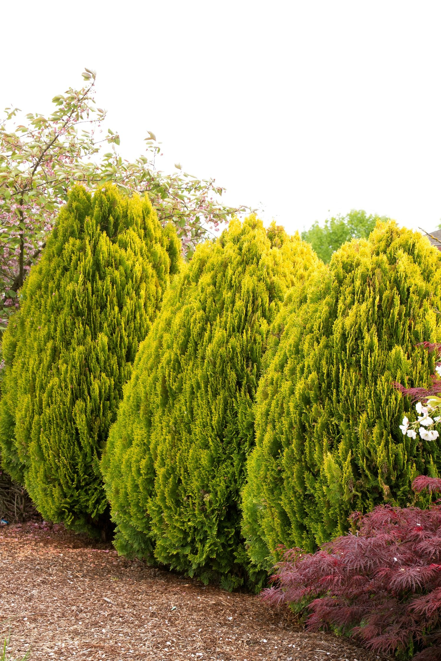 Thuja western - evergreen garden bush 52